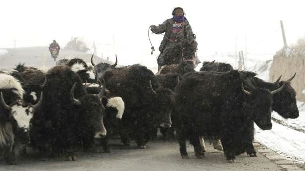 Nomade auf Pferd treibt eine Herde Yaks vor sich